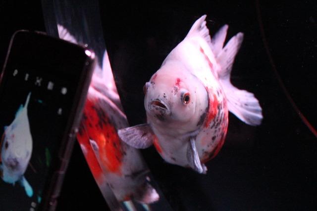 金魚 (20)