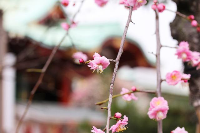 亀戸天神社 (62)