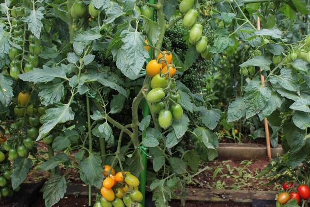 セイ農園収穫 (6)
