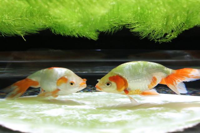 金魚 (4)