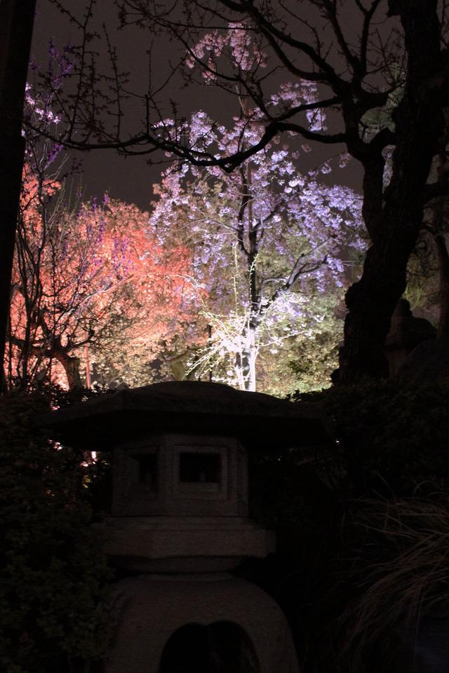 世田谷妙法寺の桜