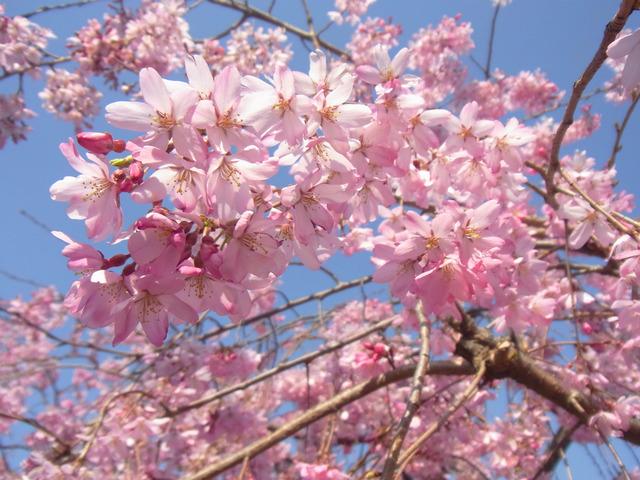2012桜 (6)