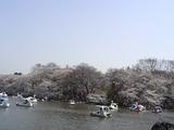 井の頭公園の池と桜