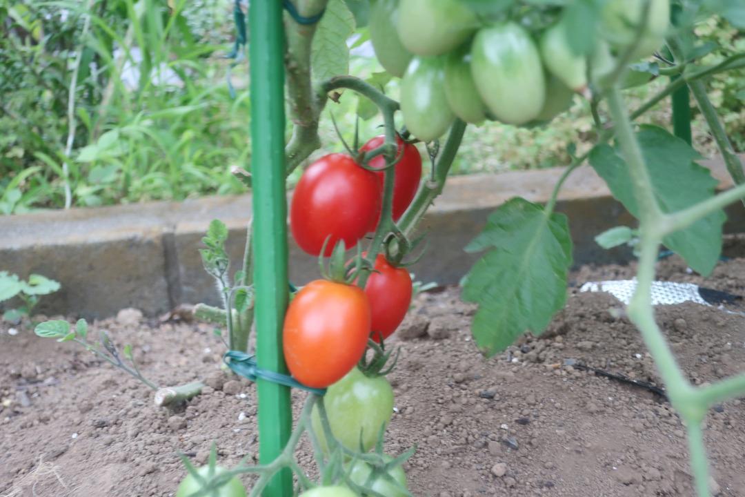 ミニトマトとキャベツ (10)