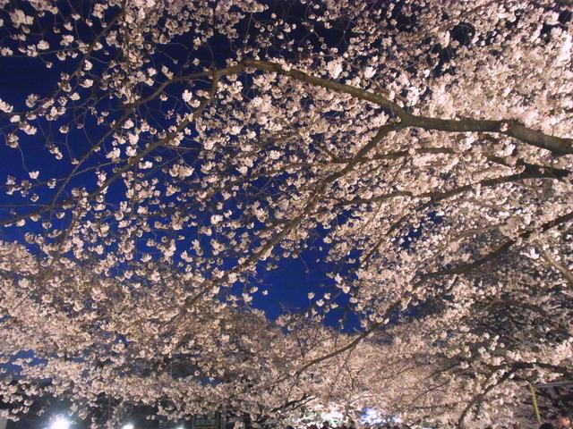 仙川の桜 (4)