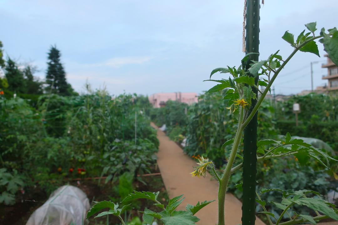小さな農園で野菜を収穫 (1)