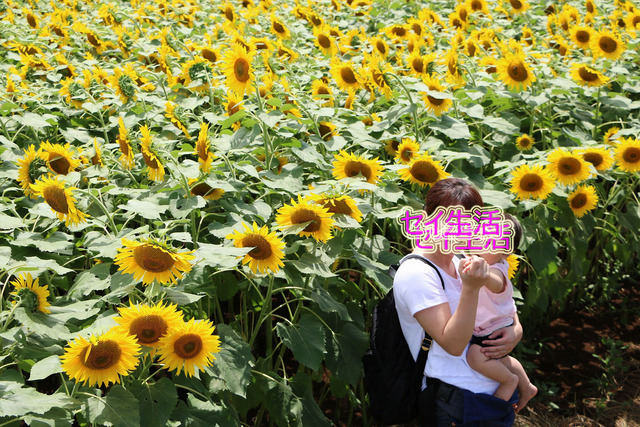 明野ひまわり畑 (19)