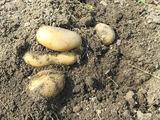 ジャガイモ掘り♪