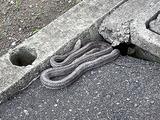 西脇道場にシマヘビ♪