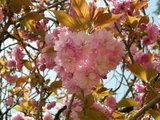 ハートのぼたん桜