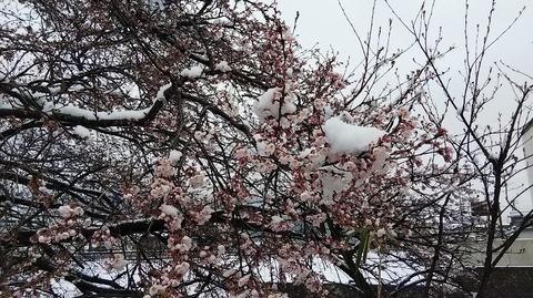 サクラと雪