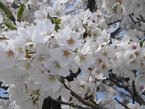 桜の花10