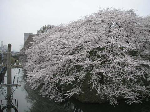 桜の花06