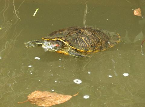 新河岸川の亀1