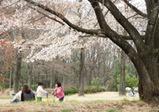 航空公園 桜