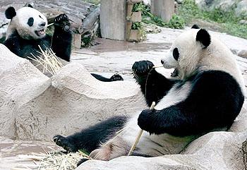 チェンマイ動物園のパンダ