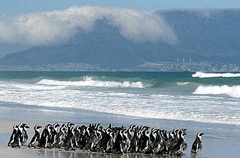 南ア・ペンギン