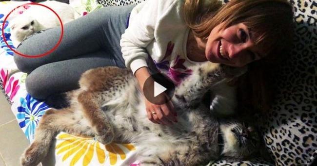 オオヤマネコに嫉妬する猫