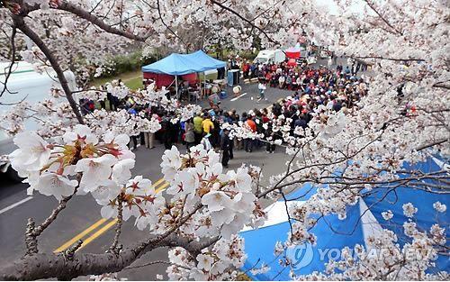 桜の起源は韓国