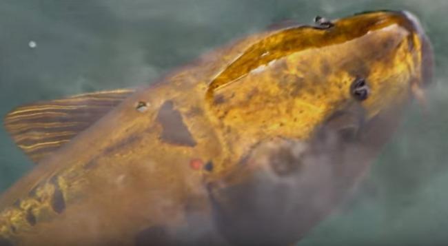 黄金の地面魚