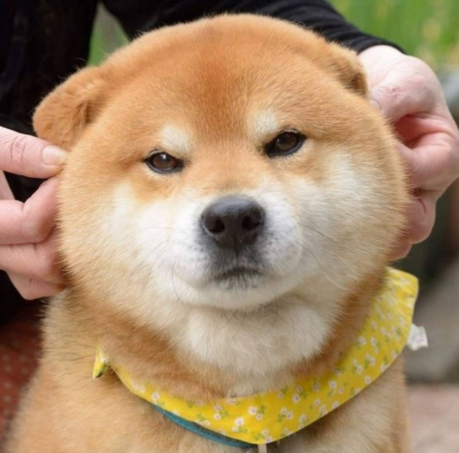 穏やかな顔の柴犬