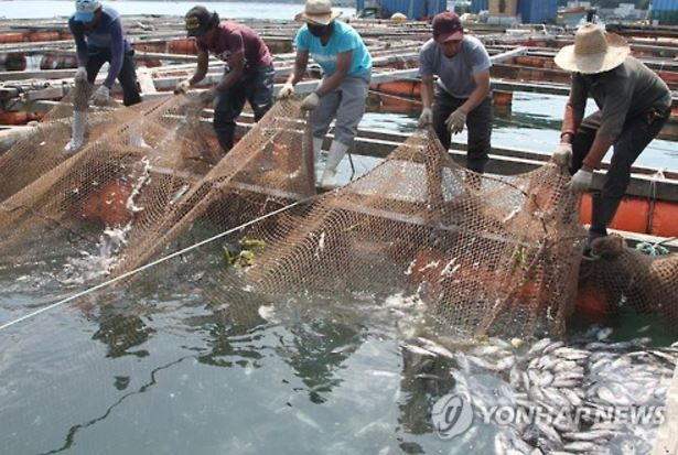韓国の魚養殖場で魚が集団死
