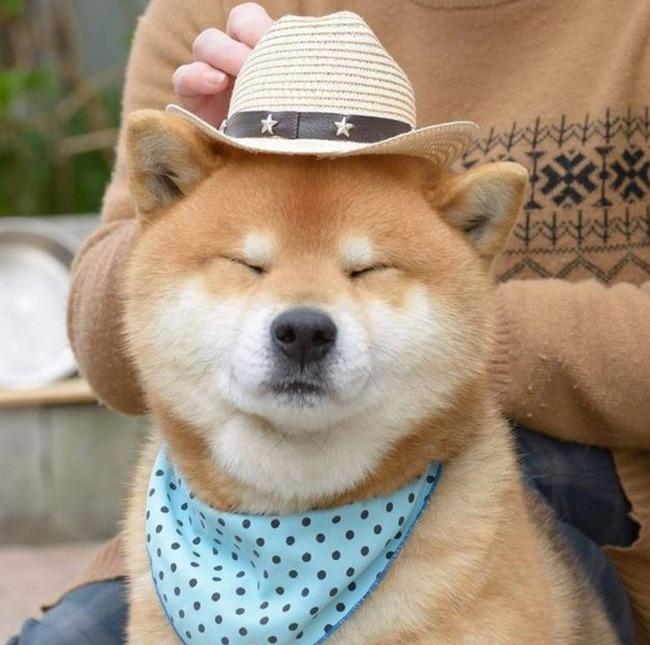 帽子をかぶった柴犬