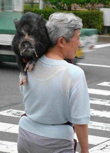イノシシと散歩をするおばちゃん