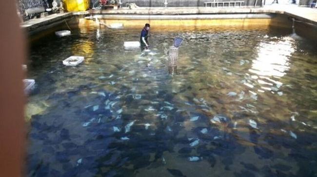 韓国の養殖魚が大量死