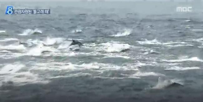 韓国に現れたイルカの群れ