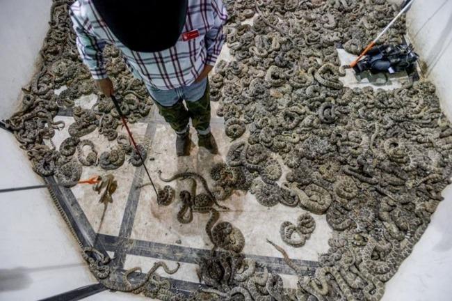 ガラガラ蛇フェスティバル
