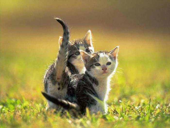 cute_kitten_012013032312