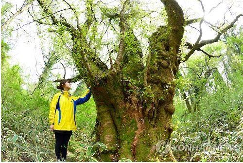 済州に自生する王桜