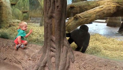 young-gorilla-and-toddler-play-peek-a-boo-at-the-columbus-zoo