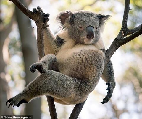 【画像あり】オーストラリアで『セクシー』過ぎるコアラが激写されるwwwwwwwww