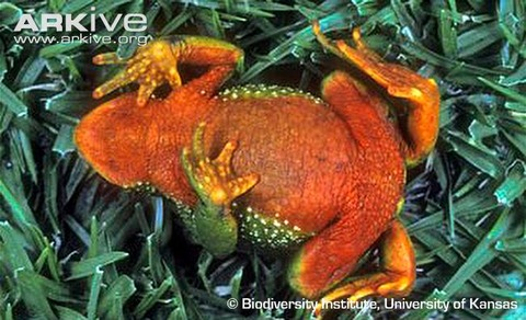 Azuay-stubfoot-toad-ventral-view