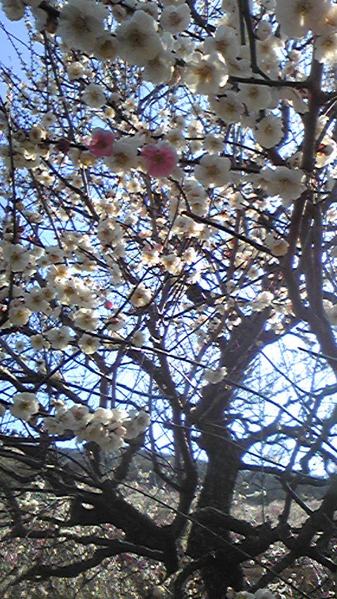 幕山公園の梅