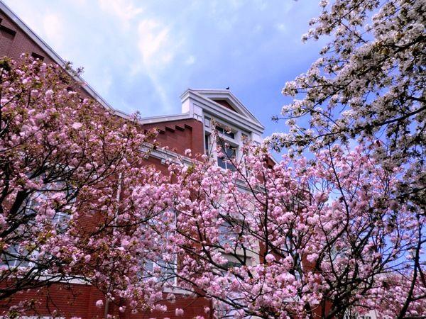 大阪造幣局の桜6