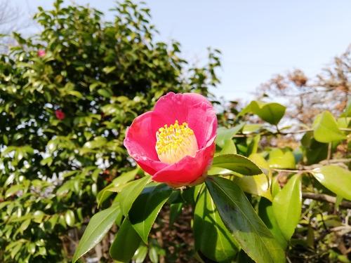 万葉植物園3月22日赤椿2020