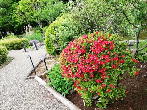 20210417万葉植物園赤いツツジ