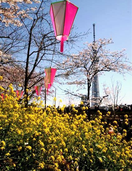 昇さんスカイツリーと菜の花