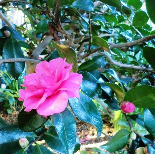 11月の万葉植物園山茶花