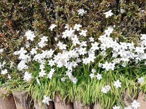 万葉植物園3月22日花ニラ2020