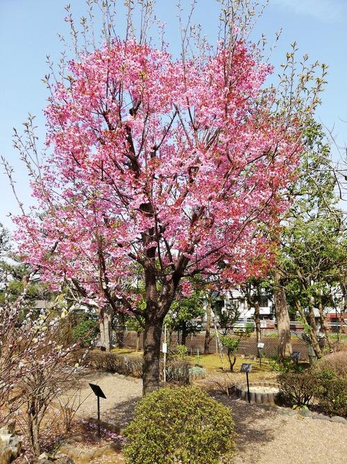 万葉植物園3月22日陽光桜満開2020