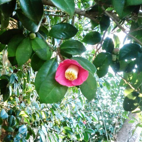 12月の万葉植物園椿