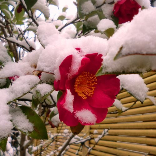 雪の日の我が家の山茶花