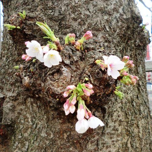 目黒川桜並木の太い幹から桜の花