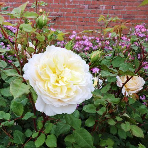 ゆにガーデン白バラ