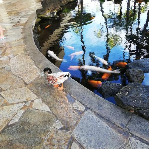 2020ハワイヒルトンの池