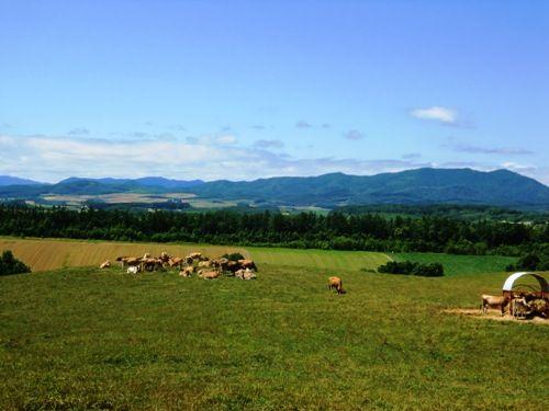 美瑛、牧場の牛たち縮小版